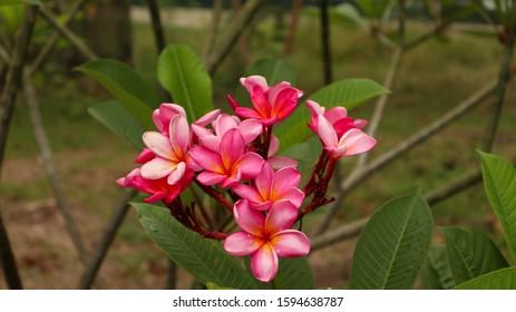 Bunga Kamboja Images Stock Photos Vectors Shutterstock