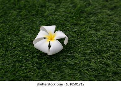 Frangipani flowers  flower