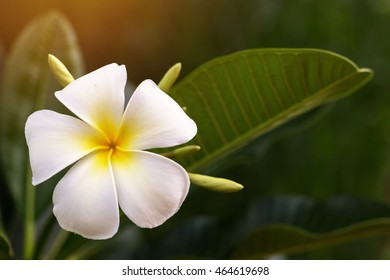 Frangipani flowers with leafs. Plumeria or Fragrant flowers. Temple or Graveyard Tree.