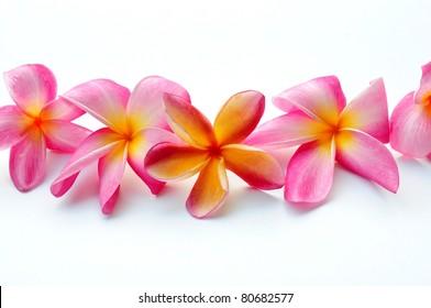 Frangipani flowers in a row