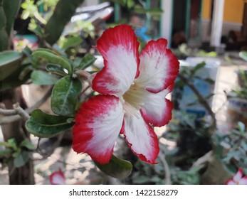 Frangipani flowers are white pink