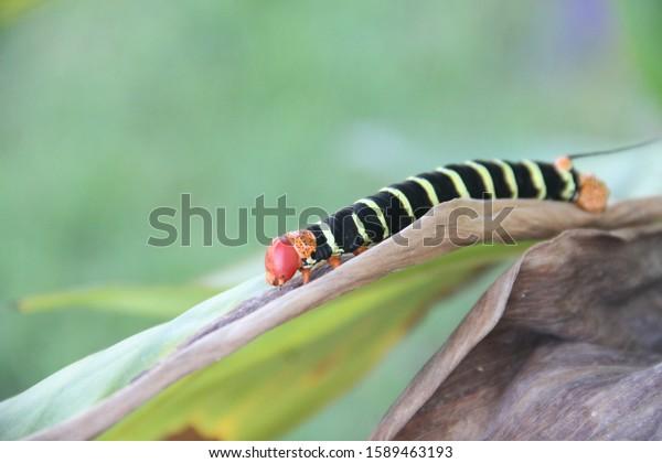 frangipani-hornworm-pseudosphinx-tetrio-