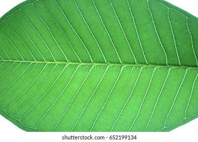 Frangipani leaf isolated on white background