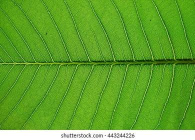 Frangipani leaf texture in closeup