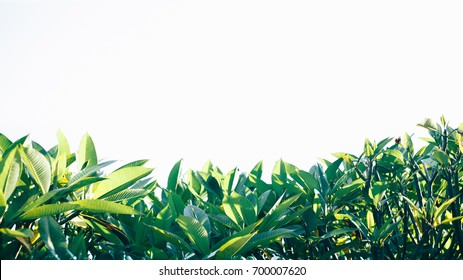 Frangipani leaves are green and white