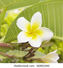 Frangipani, Plumeria blooming flower