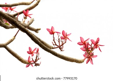 frangipani plumeria flowers and branches isolated on white