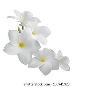 Frangipani (plumeria) flowers isolated on white background