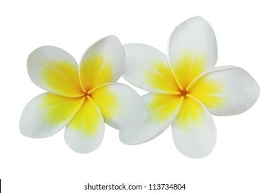 Frangipani (plumeria) flowers isolated on white