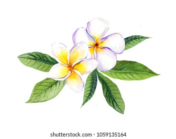 Frangipani plumeria flowers with leaves. Watercolor