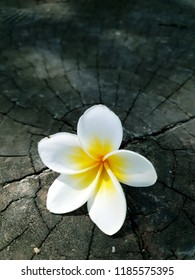 Frangipani (Plumeria spp.) on wood backgrounds.