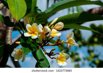 Frangipani (Plumeria subsessilis) flowers are most fragrant at night in order to lure sphinx moths to pollinate them. The flowers yield no nectar, however, and simply dupe their pollinators.