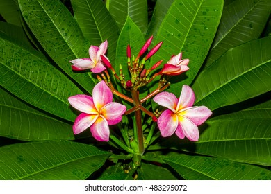 Frangipani, Plumeria, Temple Tree, Graveyard Tree color pink and white around surrounded Full of leaves green color nature beautiful Drizzle raindrops have a Light and shadow in thailand