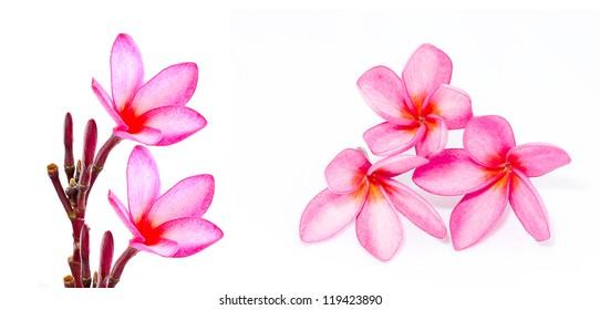 frangipani or plumeria tropical flower isolated on white background
