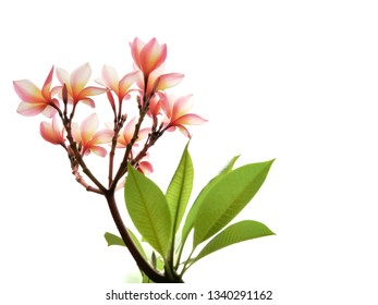 Frangipani  ( Plumeria) tropical spa flower isolated on white background with copy space.
