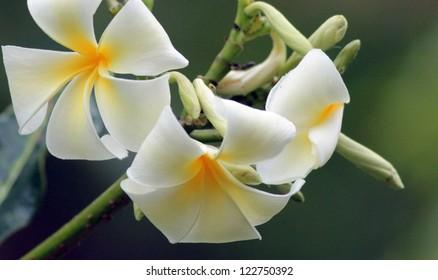 Frangipani tree in flower