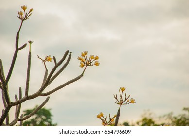 Frangipani, white flower in a garden. Frangipani is flower which grow in Philippines. Cebu