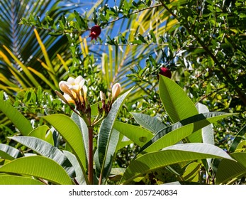 Franipani blooming in the jungle of the botanical garden on a sunny day with blue sky