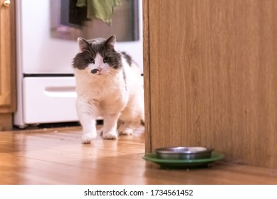 Frankie the longhair cat rounds the corner towards his dish.
