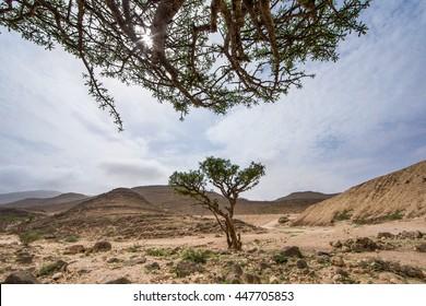Frankincense trees in Salalah, Oman