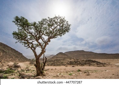 Frankincense trees in Salalah, Oman