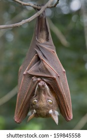 Franquet's epauletted fruit bat (Epomops franqueti) hanging in a tree.