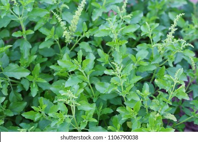 Frash of young holy basil or tulsi leaves in the garden.