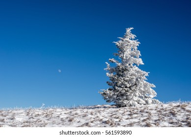 A Frasier Fir tree sits on top of Roan Mountain with the Full Moon rising behind it on a frigid winter day on the Appalachian Trail.