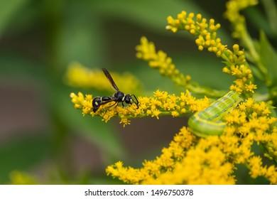 Fraternal Potter Wasp on Goldenrod Flowers in Summer