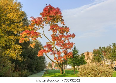 Fraxinus angustifolia Raywood in autumn colors with bright red orange leaves against a blue sky with clouds veil