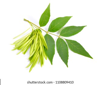 Fraxinus excelsior, known as the ash, or European ash. Green leaves with seeds. ISolated on white.