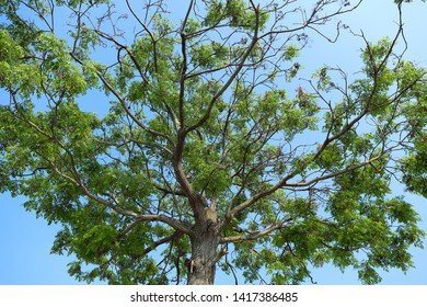 Fraxinus griffithii Griffith's Ash in blue sky