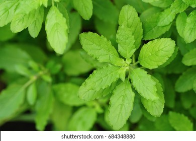 Freah Holy Basil plant.