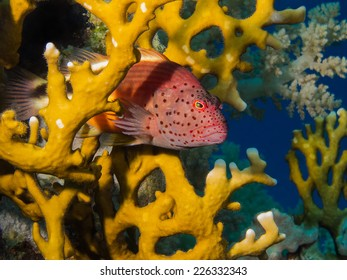 Freckeled hawkfish hiding in a fire coral