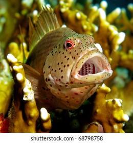 Freckled Hawk-fish - Paracirrhites forsteri