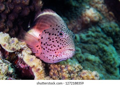 Freckled Hawkfish - Pixy Hawkfish (Paracirrhites Forsteri) facing the camera.