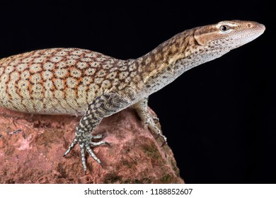 The Freckled monitor (varanus tristis orientalis) is a smaller monitor lizard, mainly found along eastern Australia.