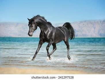 free black arab horse runs trough the splashes of water