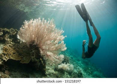 A free diver explores a coral reef slope adorned by a beautiful gorgonian in Raja Ampat, Indonesia, Pacific Ocean.  This region is known for its spectacular marine biological diversity.