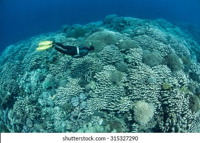A free diver explores a healthy coral reef growing near the island of Banda in Indonesia. Banda is famous as one of the Spice Islands but is now better known for its spectacular marine life.