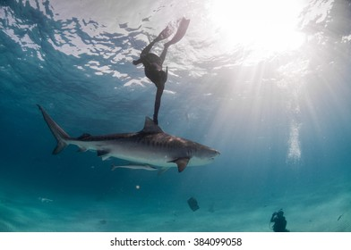 A free diver hitching a lift with a friendly tiger shark in clear, shallow water