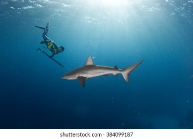 A free diver swimming with a galapagos shark in a blue ocean