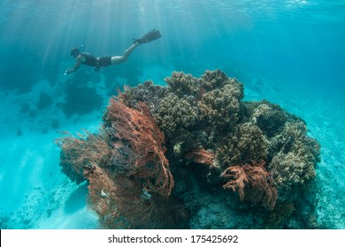 A free diver swims above a coral bommie covered by corals and gorgonians in Raja Ampat, Indonesia. This area is possibly the most diverse region of the world in terms of marine life.