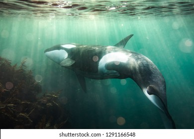 Free Diving with Orca in New Zealand