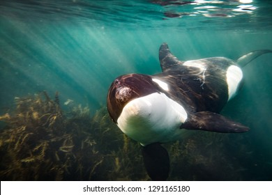Free Diving with Orcas in New Zealand