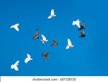 free flying black and white doves