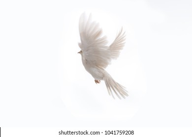 A free flying white dove isolated on a black background. Bird of peace. Pigeon mail.