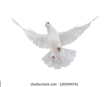 free flying white dove isolated on a white background as symbol of peace
