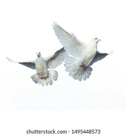 A free flying white dove isolated on a white background - ภาพ