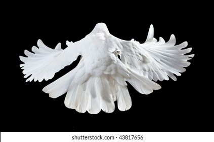 A free flying white dove isolated on a black background